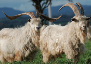 A call for protection: the Bilberry Goat herd.