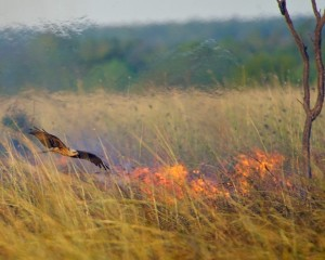 A bird of prey swoops low over a scrub fire in search of a meal.