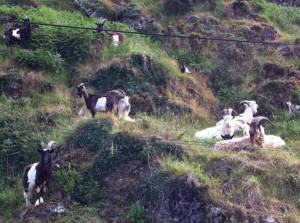 Wild goats on the hillside overlooking the village of Passage East.