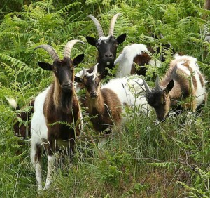 Marauding: the goats of Passage East.
