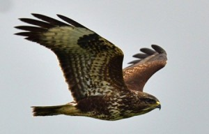 An Irish buzzard in flight.