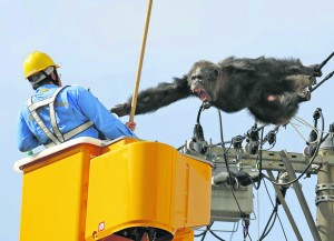 A power worker in Japan, sent out to repair a line over the Christmas period, got more than he bargained for when he discovered an angry male chimpanzee perched near the faulty item.  The lads in the ESB would sort that out in a flash!