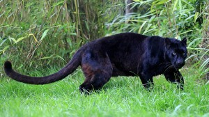 A panther-like creature has been sighted in the Crosshaven area in Lower Cork Harbour.